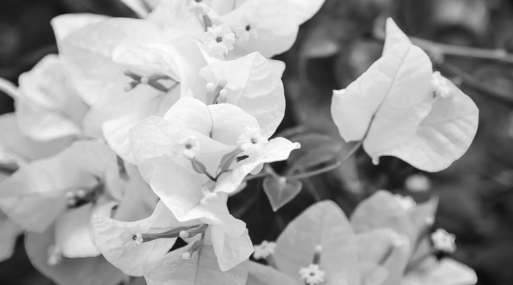 Azara pretty flowers